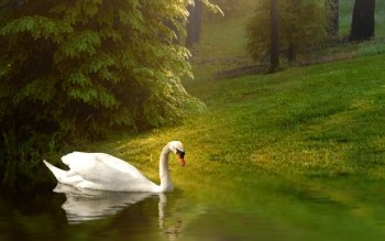 Animal - Swan Wallpapers and Backgrounds ID : 183958
