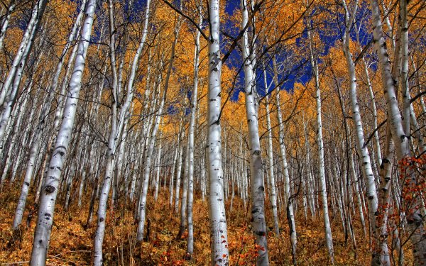 Earth Forest Birch Fall Foliage HD Wallpaper | Background Image