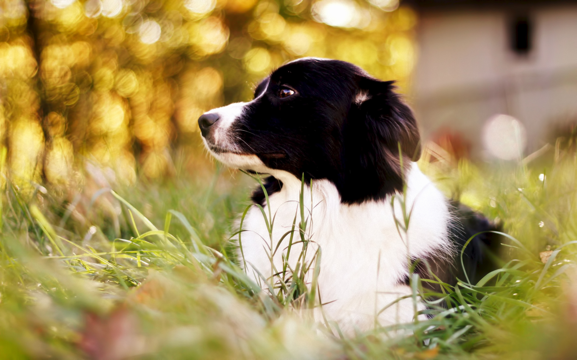 Border Collie Full HD Wallpaper And Background Image