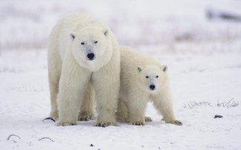 Animal - Polar Bear Wallpapers and Backgrounds ID : 191078