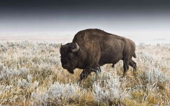 Animalia - Buffalo Wallpapers and Backgrounds ID : 192108