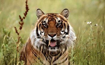 Animal - Tiger Wallpapers and Backgrounds ID : 195744