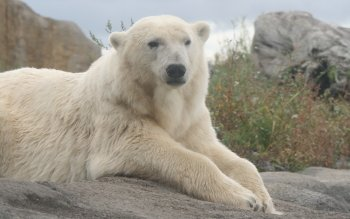 Animal - Polar Bear Wallpapers and Backgrounds ID : 196078