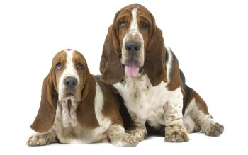 Preview Basset Hound