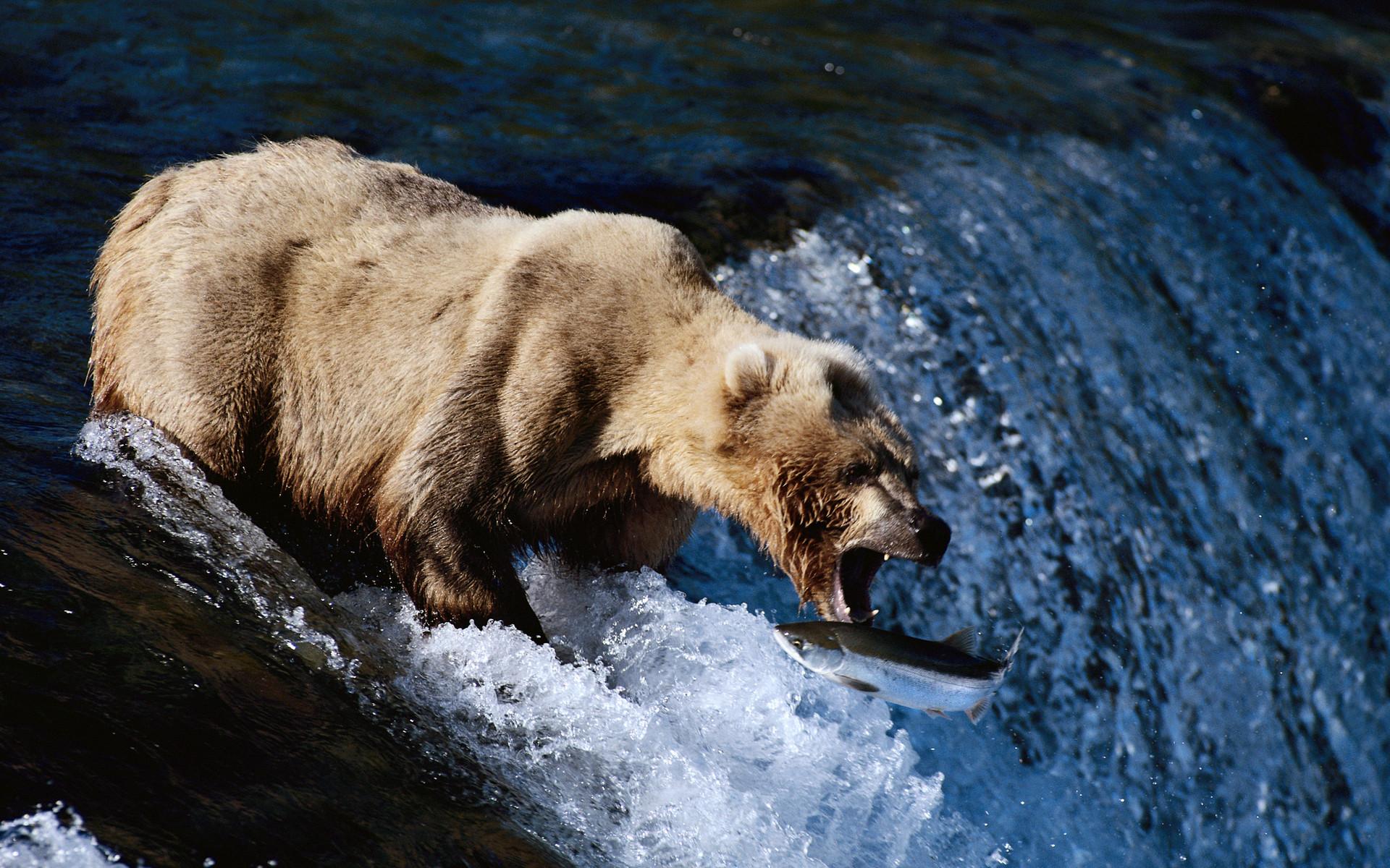 Animal - Bear  Wallpaper