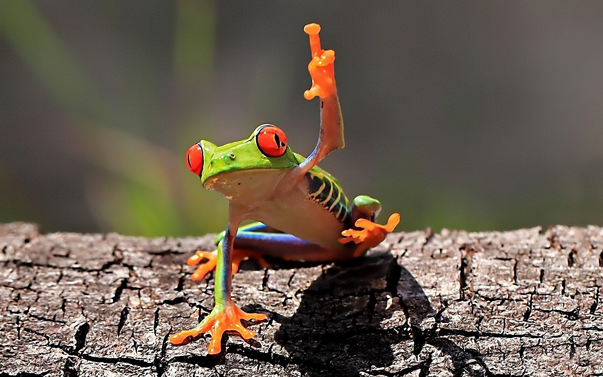 Animal - Frog  Humor Funny Cute Wallpaper