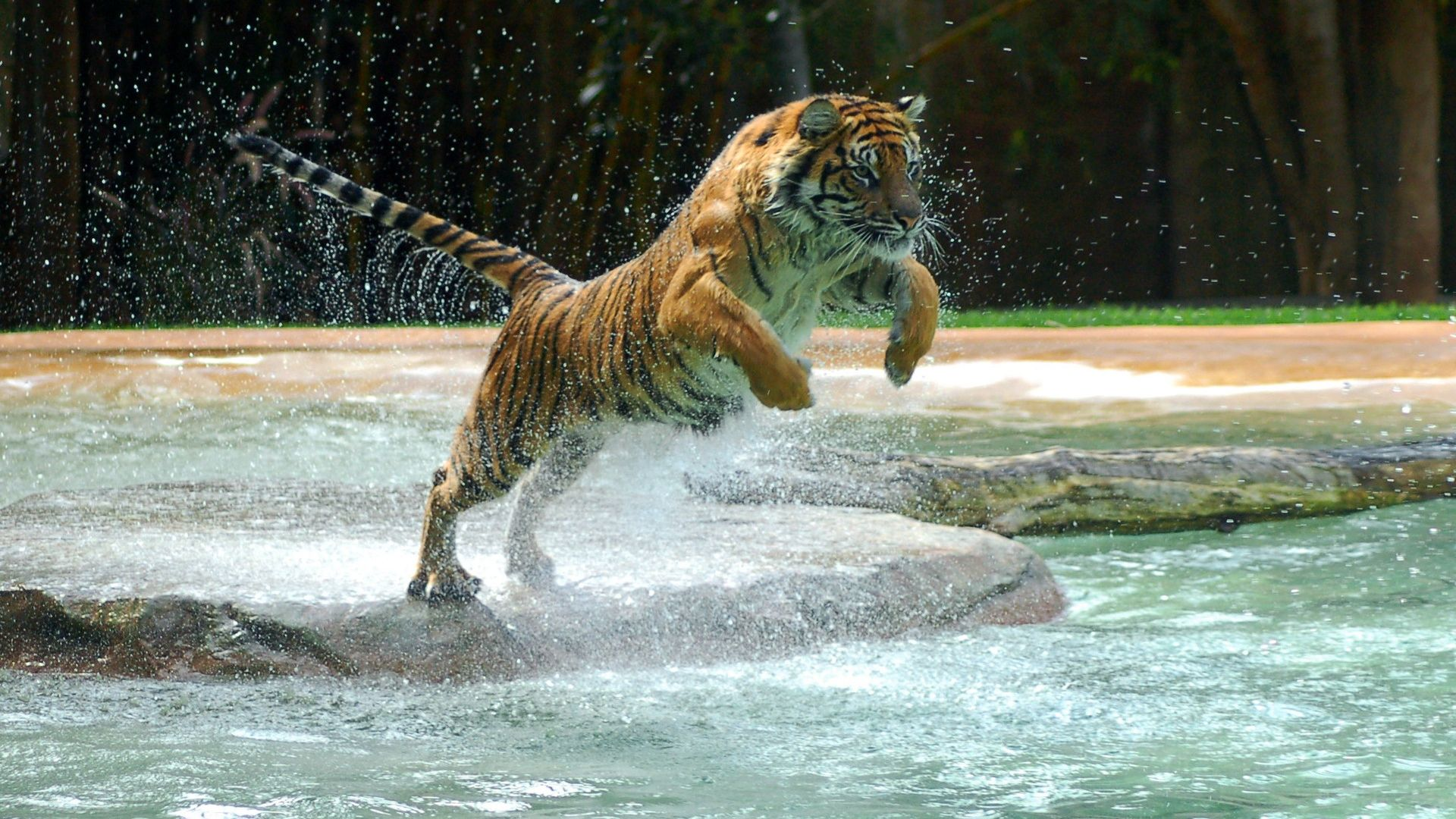 Animal - Tiger  Wallpaper