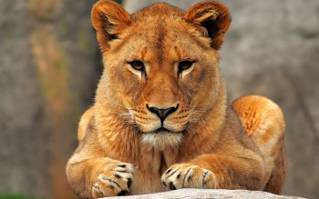 Animalia - León Wallpapers and Backgrounds ID : 206148