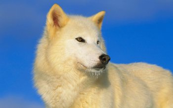 Preview arctic wolf