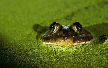Animal - Frog Wallpapers and Backgrounds ID : 207548