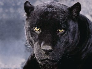 Preview Black Panther