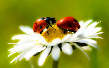Animal - Ladybug Wallpapers and Backgrounds ID : 213424