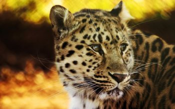 Animalia - Leopard Wallpapers and Backgrounds ID : 213914