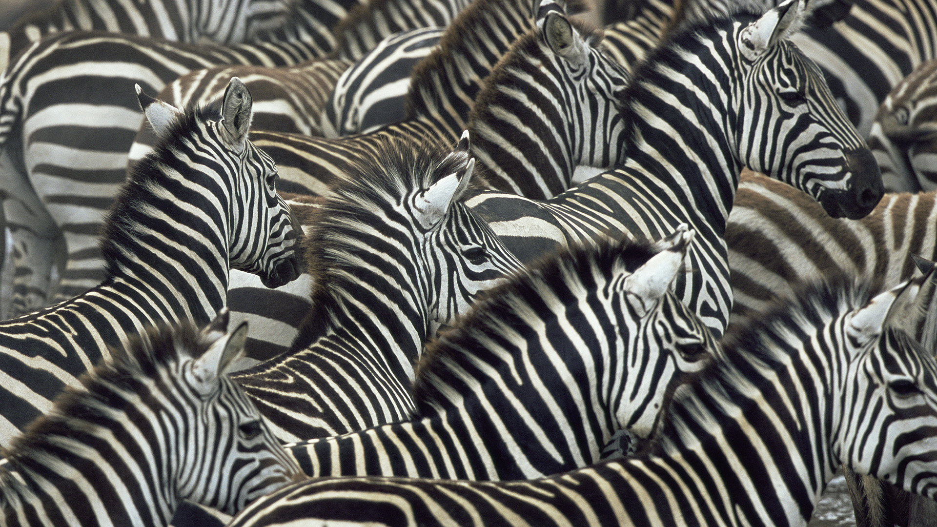 Zebra Full HD Wallpaper and Background 1920x1080 ID214388