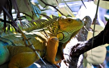 Animal - Iguana Wallpapers and Backgrounds ID : 223248