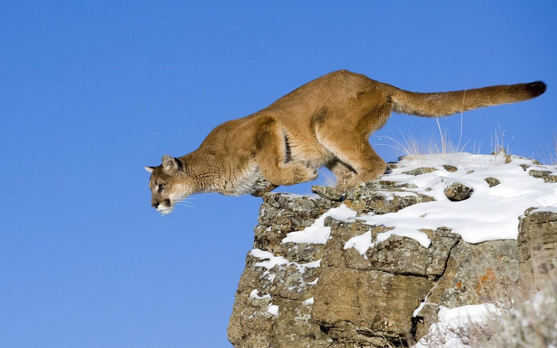 Animal - Cougar  Wallpaper