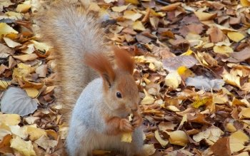 Animalia - Squirrel Wallpapers and Backgrounds ID : 224528