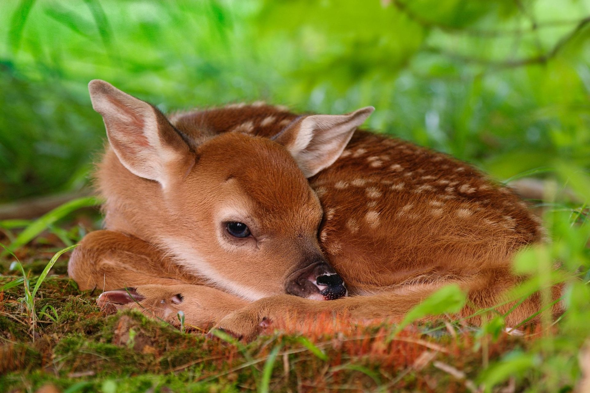 Animal - Deer  Fawn Baby Animal Animal Cute Wallpaper