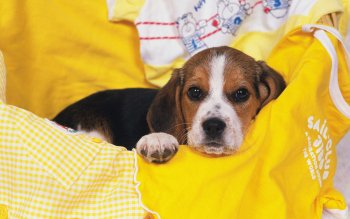 Animal - Beagle Wallpapers and Backgrounds ID : 22638