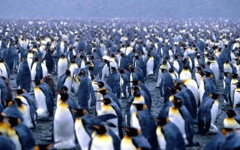 Animal - Penguin Wallpapers and Backgrounds ID : 23258
