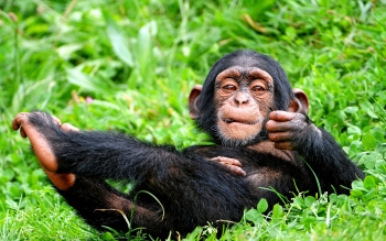 Animal - Chimpanzee Wallpapers and Backgrounds ID : 232966