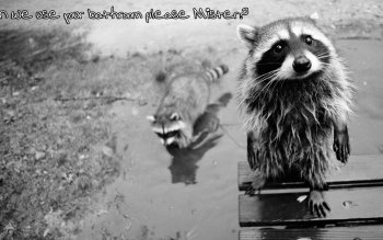 Animal - Raccoon Wallpapers and Backgrounds ID : 233926