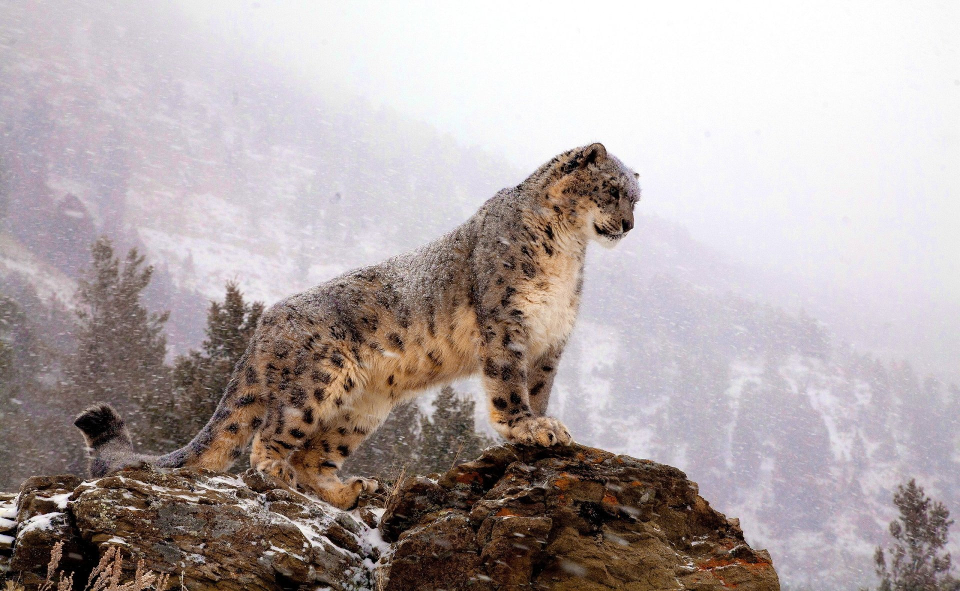 Animal - Snow Leopard  Big Cat Wallpaper