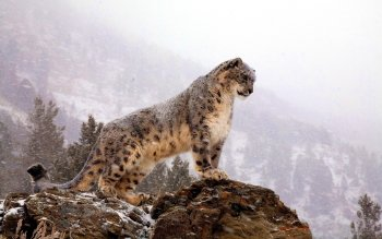 Animalia - Snow Leopard Wallpapers and Backgrounds ID : 234294