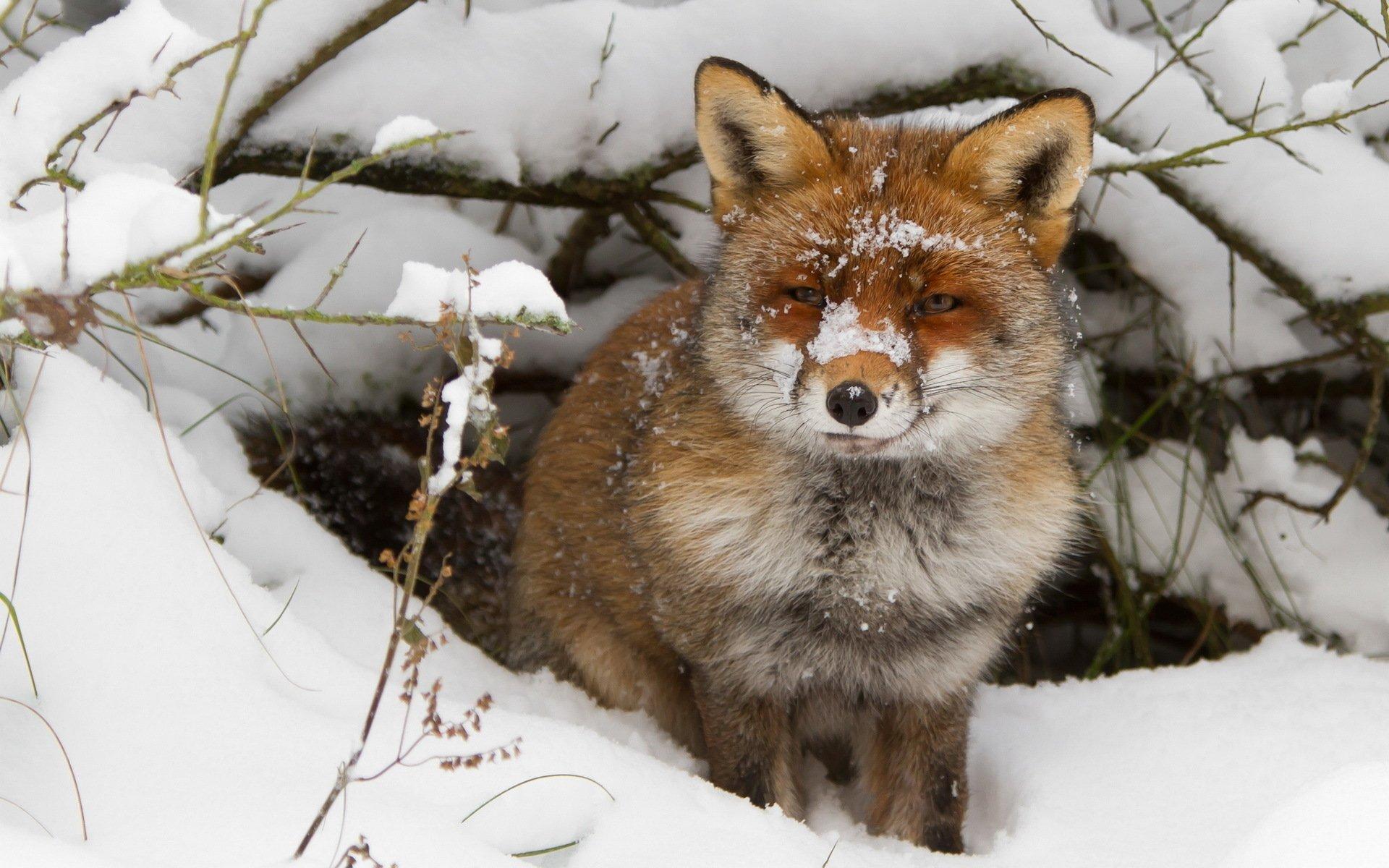 Animal - Fox  Wallpaper