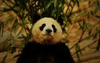Animal - Panda Wallpapers and Backgrounds ID : 235938