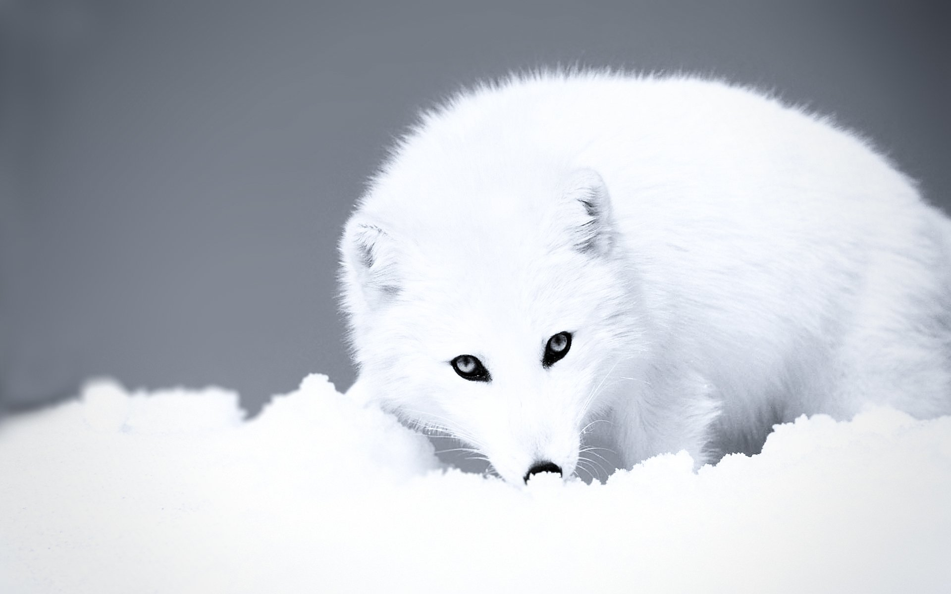 Animal - Arctic Fox  Animal Fox Wallpaper