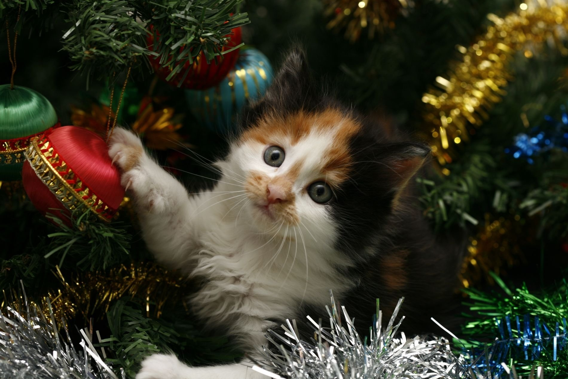 playful kitten wallpaper and background image 1900x1267