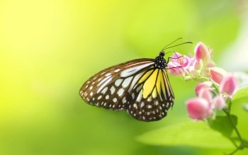 Animal - Butterfly Wallpapers and Backgrounds ID : 240244
