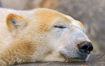 Animal - Polar Bear Wallpapers and Backgrounds ID : 241984