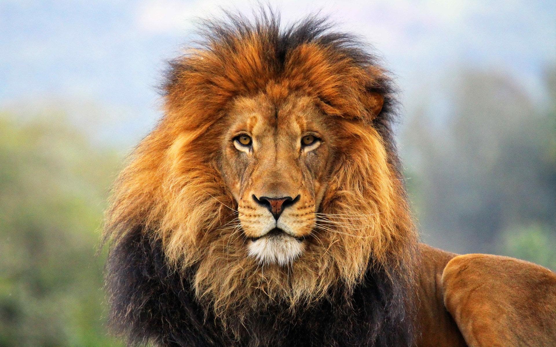 Animaux Lion Chat Animaux Fond D'écran
