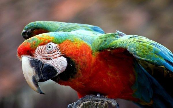 Animales Guacamayo Aves Loros Colores Catalina Macaw Ave Loro Fondo de pantalla HD | Fondo de Escritorio