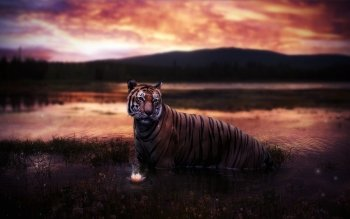 Animal - Tiger Wallpapers and Backgrounds ID : 245468