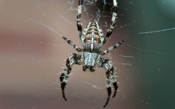 Animal - Spider Wallpapers and Backgrounds ID : 246204
