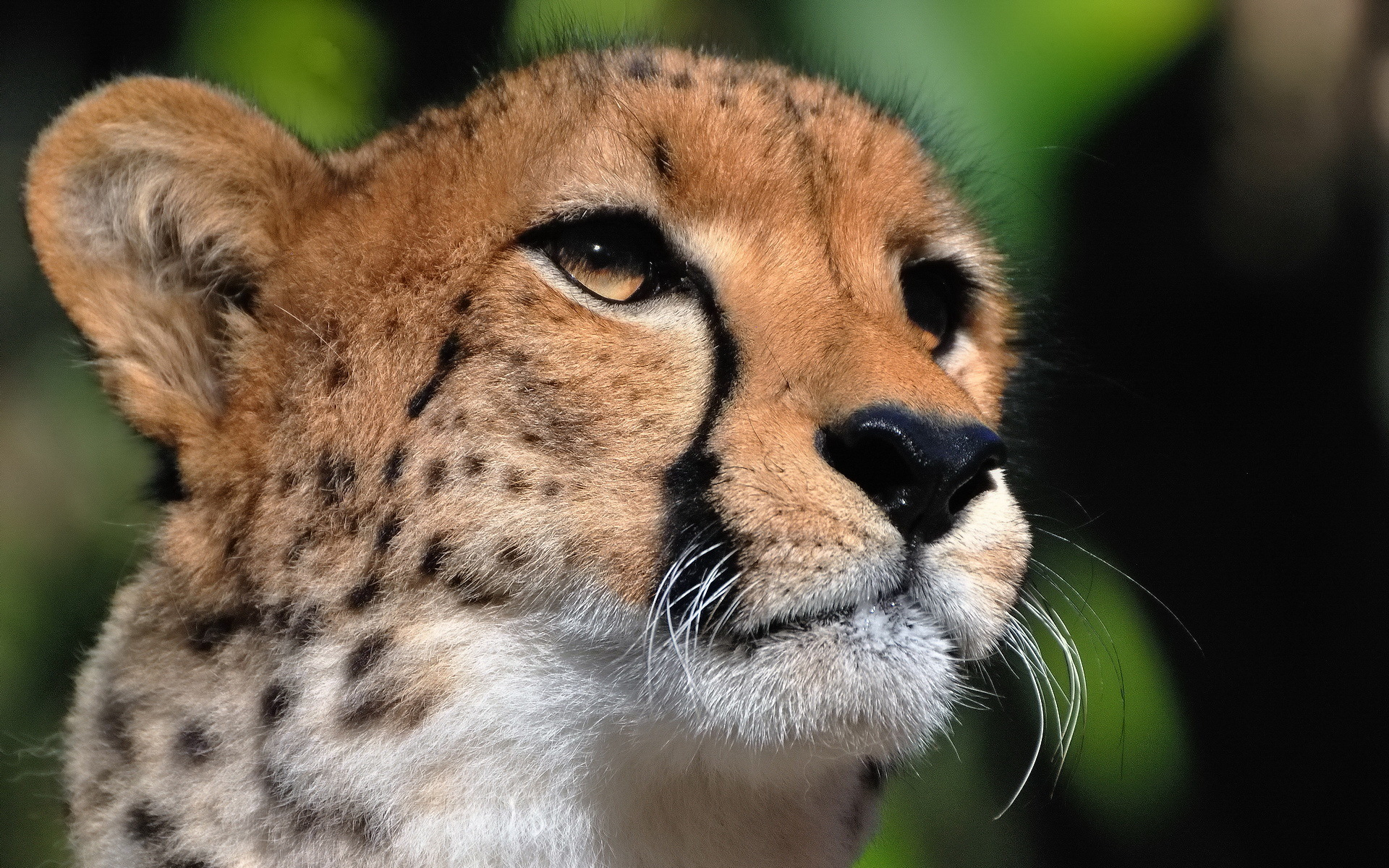 Cheetah Face Profile