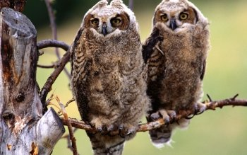 Animal - Owl Wallpapers and Backgrounds ID : 247634