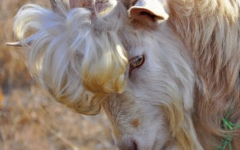 Animalia - Goat Wallpapers and Backgrounds ID : 248366