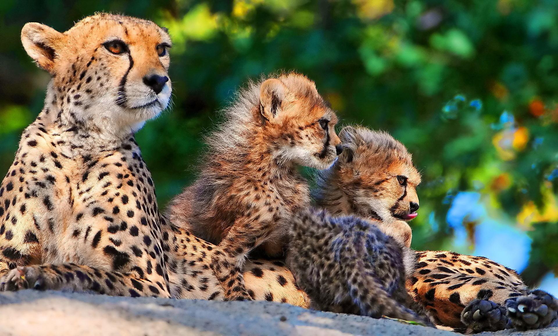 Cheetah Computer Wallpapers, Desktop Backgrounds ...