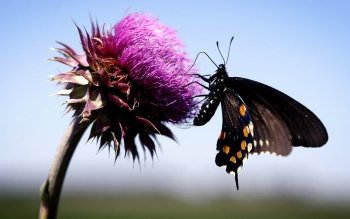 Animal - Butterfly Wallpapers and Backgrounds ID : 249164