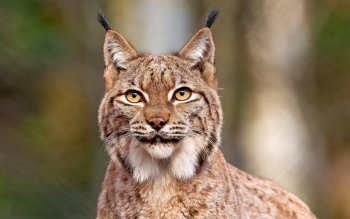 Animal - Lynx Wallpapers and Backgrounds ID : 249576