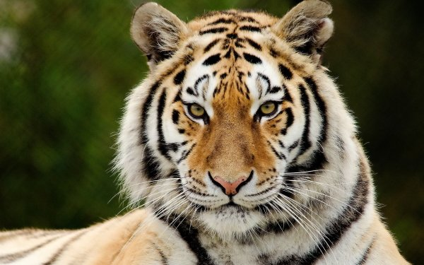 Animal Tiger Cats HD Wallpaper | Background Image