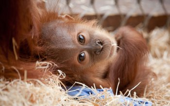 Animal - Orangutan Wallpapers and Backgrounds ID : 251044