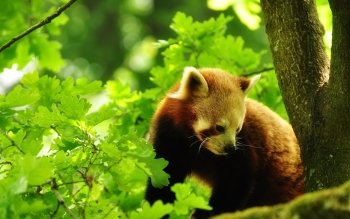 Animal - Red Panda Wallpapers and Backgrounds ID : 253394