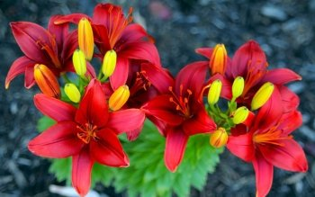 Earth - Lily Wallpapers and Backgrounds ID : 254778
