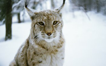 Animal - Lynx Wallpapers and Backgrounds ID : 255898