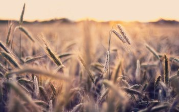 Terra - Wheat Wallpapers and Backgrounds ID : 257934